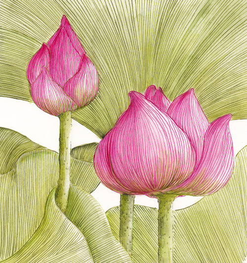 lotus flower buds
